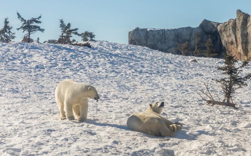 polar bear Unsplash